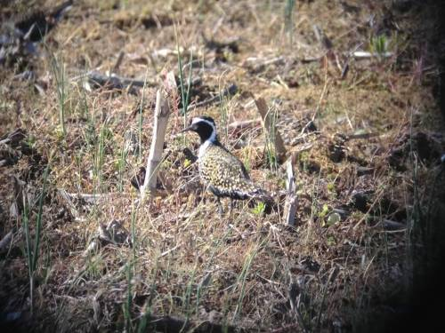 This American Golden Plover stopped right outside Scaboo's office at the Bay Farm recently. The American Golden Plvoer is only found in Missouri a few weeks a year. They breed in northern Canada. and winter in Argentina. Photo courtesy of Andrew Scaboo.