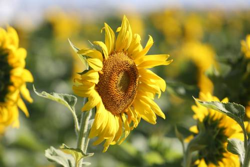 This year's South Farm Showcase featured a sunflower maze, a first for the event.