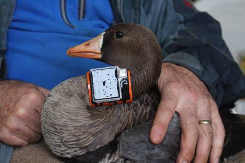 Tracking collars are being used on all of the geese in the project. The collars include GPS technology, which allows the group to see where the geese are at all times. There are also accelerometers in the collars. The accelerometers measure acceleration of each bird. Each action results in a different acceleration – whether it be feeding, flying or sleeping. Photo courtesy Mitch Weegman.