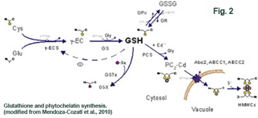 Figure 2: Glutathione (GSH) and phytochelatin synthesis. Modified from Mendoza-Cozatl et al., 2010.