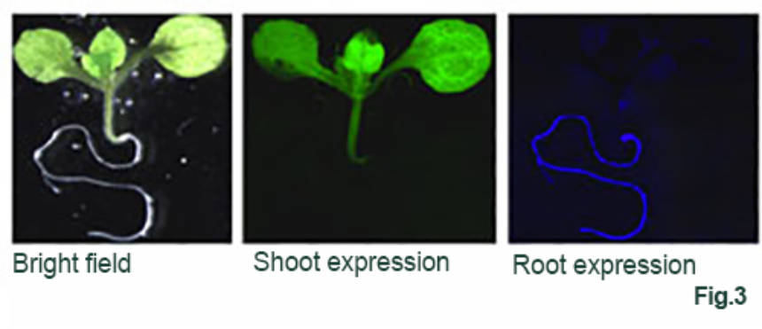 Figure 3: bright field, shoot expression, root expression