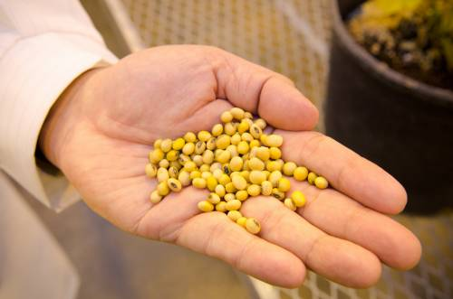 The soybean can used in a variety of ways, from cooking oil to animal feed. The seed has a high oil content and plays a big role in biofuels and biodiesels.