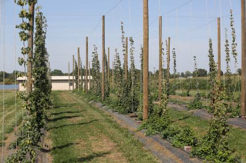 The Bradford hop yard is divided into two sections. The first section contains 200 plants, which are commonly grown in the Midwest. The second section has a collection of various hops varieties.