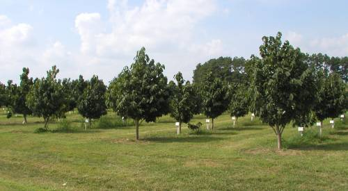 HARC is currently home to a pawpaw cultivar study, which originally contained 10 different named cultivars. The Center also works with Kentucky State University, home to the national germplasm repository for pawpaws, and has added two newly released cultivars – 'Atwood' and 'Benson' – to the collection at HARC.