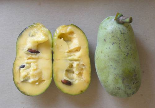 Pawpaws can be used like bananas in smoothies, bread, muffins, yogurt and ice cream. Gold said he enjoys eating pawpaws directly from the freshly harvested fruit, scooped out like a custard.