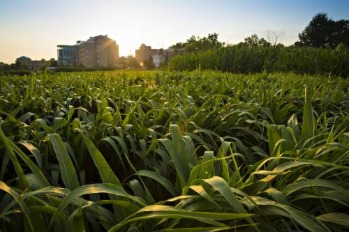Sanborn Field is the oldest, continuous experimental field west of the Mississippi River and the third oldest in the world. It was established in late 1888 by Dean J.W. Sanborn, who was looking to demonstrate the value of crop rotations and manure in grain crop production.