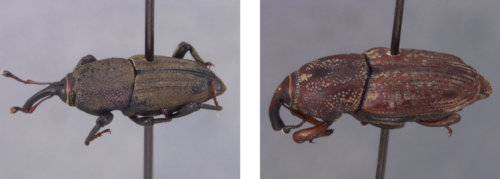 The bluegrass billbug (left) and the hunting billbug are the two most common types of billbug species in Missouri. Photo courtesy of Robert Sites and Bruce Barrett.