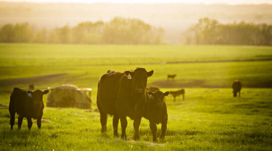 Beef Producers Could Have More Precise Way to Manage Herds in the Future, Thanks to Collaboration Between Engineering,CAFNR (click to read)