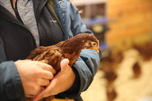 While Wawrzyniak found a passion for sheep, she also enjoyed working with poultry. She was part of the poultry judging team during her senior year at Rock Bridge. That team won the Missouri FFA state competition and competed at nationals.