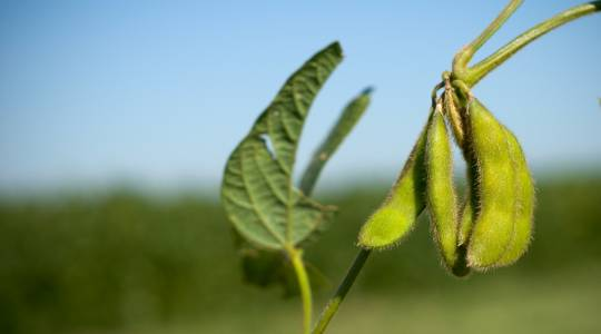 CAFNR Researchers Earn $500,000 Grant to Work on Heat Tolerance in Soybeans (click to read)
