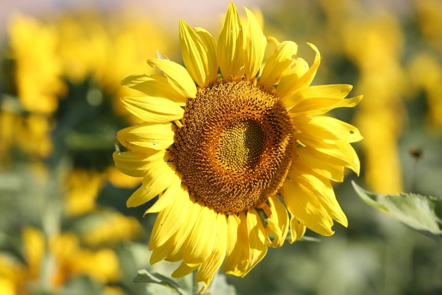 SouthFarm-sunflowers