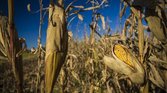 Agricultural Markets Still Face Uncertainty, MU Analysts See Signs ofOptimism (click to read)