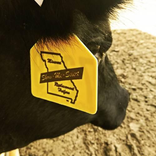 Show-Me Select heifer with ear tag. Photo courtesy of Anita Ellis.