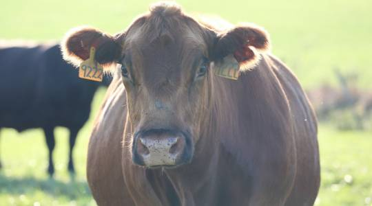 Cattle losing adaptations to environmentalstressors (click to read)